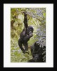 Young Mountain Gorilla Hanging From Branch by Corbis