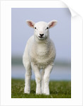 Close-up of Lamb in Meadow by Corbis