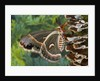Cecropia Moth on Mushroom-Covered Tree by Corbis