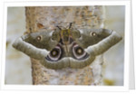 Gonimbrasia Moth on Tree Trunk by Corbis