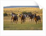 Horses Running in Prairie by Corbis