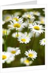 Summer Flowers by Corbis