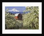 Barn in Orchard Below Mt. Hood by Corbis