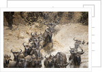Wildebeest Migration, Masai Mara Game Reserve, Kenya by Corbis