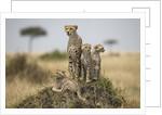 Cheetah and cubs, Masai Mara Game Reserve, Kenya by Corbis
