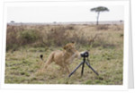 Lioness and Camera, Kenya by Corbis