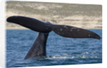 Southern Right Whale off Peninsula Valdes, Patagonia by Corbis