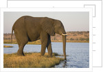 Elephant Drinking Water by Corbis
