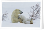 Polar Bear Mother With Her Cubs by Corbis