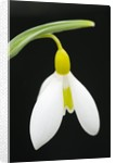 Close-Up View of Wendy's Gold Snowdrop Flower by Corbis
