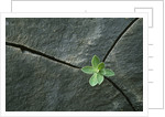Plant Growing in Cracked Boulder by Corbis