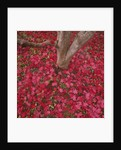 Red Leaves on Ground by Corbis