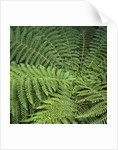 Fern Fronds by Corbis
