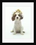 Cavalier King Charles Spaniel Puppy Wearing Bonnet by Corbis