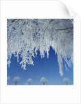 Frost Covered Trees by Corbis