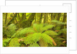 Forest on West Coast of New Zealand's South Island by Corbis