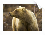 Grizzly Bear Female in Tundra by Corbis