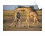 Giraffe Bending over Giraffe with Splayed Legs by Corbis