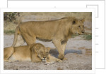 Two Lions by Corbis