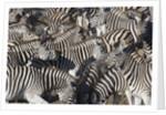 Herd of Zebras by Corbis