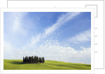 Stand of Cypress Trees in Meadow by Corbis
