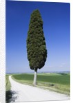 Cypress Tree by Unpaved Road by Corbis