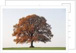 Oak Tree in Autumn by Corbis