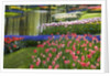 Spring Tulips by Stream by Corbis