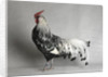 Large Hamburg Silver Spangled Cock by Corbis