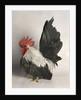 Japanese Bantam Grey Cock by Corbis