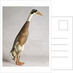 Indian Runner Duck by Corbis