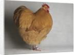 Large Buff Orpington Cock by Corbis