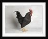 Barnevelder Cock by Corbis