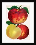 Illustration of Red and Yellow Apples by Corbis