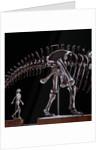 Human Skeleton and Apatosaurus Louisae by Corbis