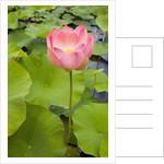 Lotus Bloom by Corbis