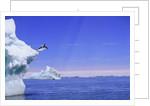 Adelie Penguin Jumping From Iceberg by Corbis