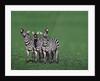 Burchell's Zebras Vocalizing by Corbis