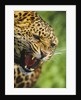 Leopard Snarling by Corbis