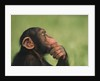 Chimpanzee Resting Chin in Hand by Corbis