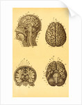 Cutaway and Profile Diagrams of the Human Brain by Corbis