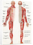 Illustration of the Brain, Spinal Cord and Nerves of the Human Male by Corbis