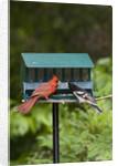 Cardinal and Rose-Breasted Grosbeak by Corbis