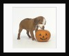 Brown and White Puppy with Halloween Pumpkin by Corbis