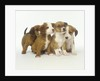 Brown and White Puppies by Corbis