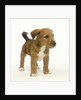 Brown and White Puppy by Corbis