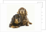 Long-Haired Dachshund Puppies by Corbis