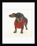 Dachshund Puppy with Red Sweater by Corbis