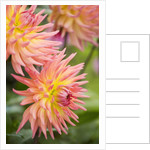 Dahlia 'Karma Sangria' in Bloom by Corbis