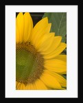 Close-up of Sunflower by Corbis